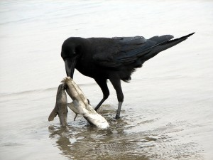 Jungle Crow Corvus macrorhynchos scavenging (feeding)) on a dead small shark at the beach in Kumamoto, Japan.